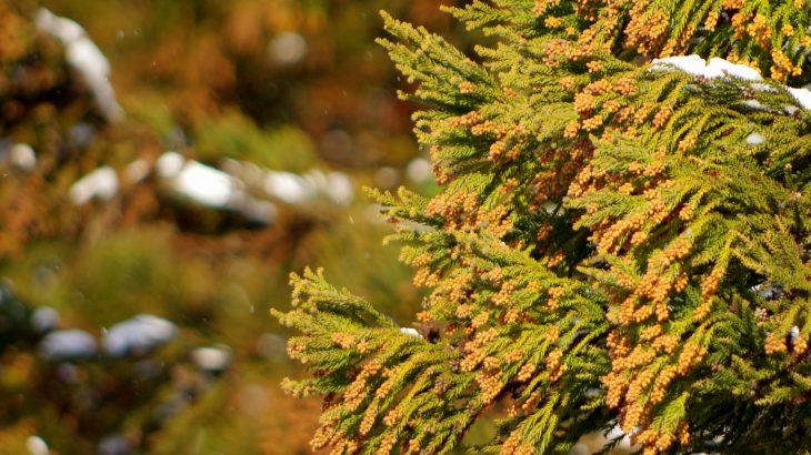 2020年の花粉飛散量の規模は?徳島県・香川県の飛散状況をチェックする方法